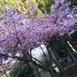 伊豆キャンプ 河津オートキャンプ場で満開の桜とキャンプを満喫しました(2020.2.22-24)